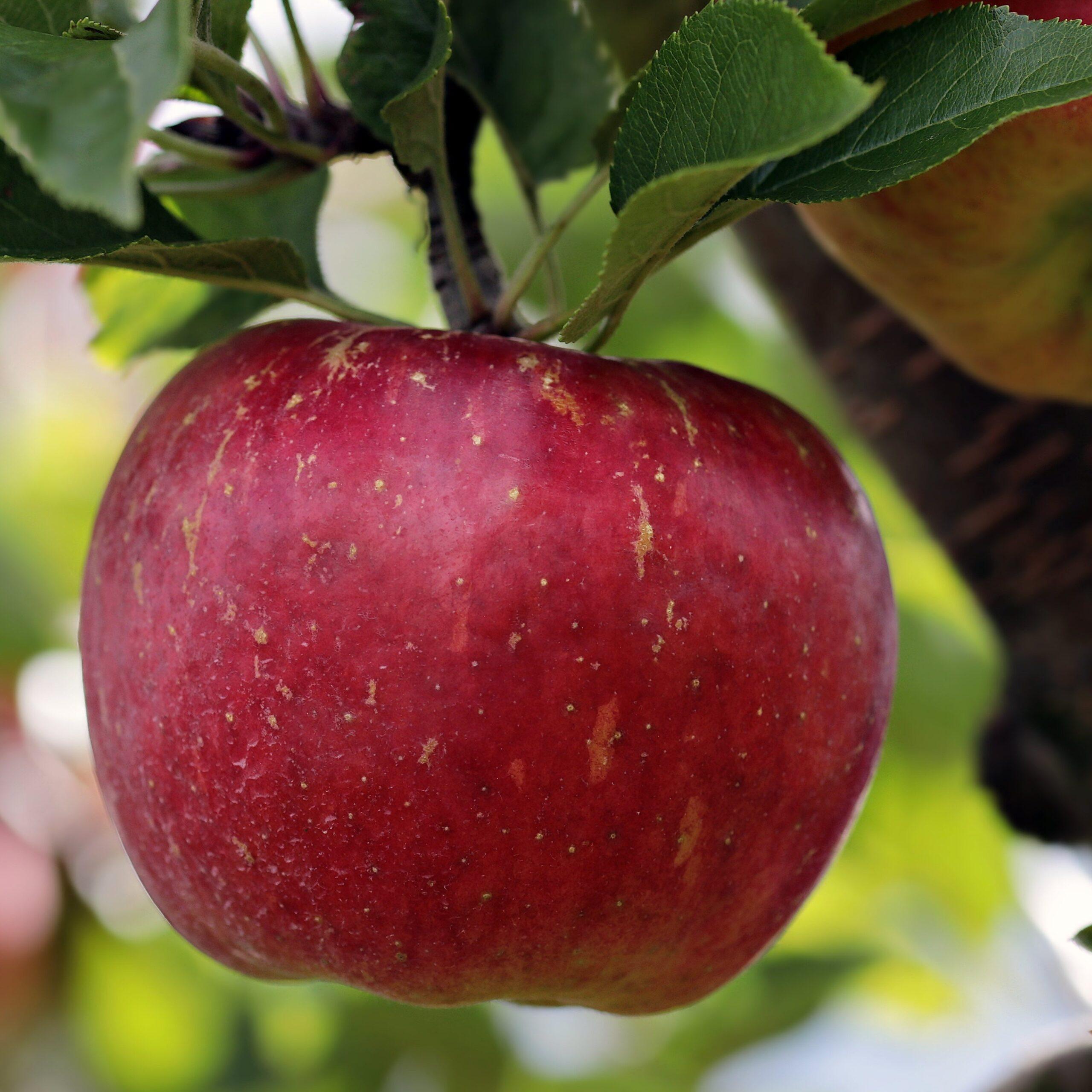 rött äpple på gren. Foto.